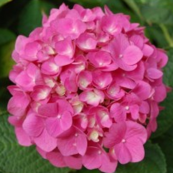 Hydrangea Pink flower live plant with plastic pot