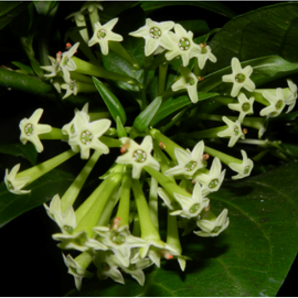 Raat Rani - Night Blooming Jasmine Plant