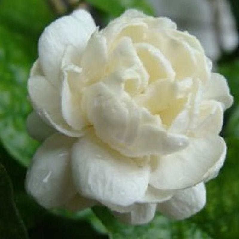 Buy Arabian Jasmine Mogra Double Flower Plant Online At Plantsgurucom