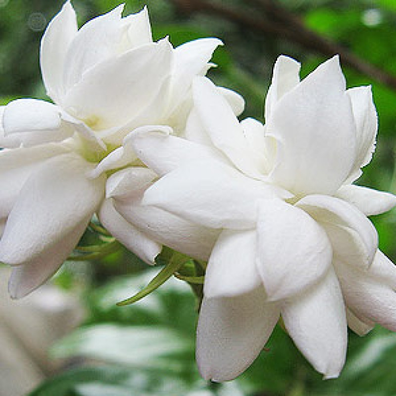 Buy Mogra Star Plant Online India At Cheap Price On