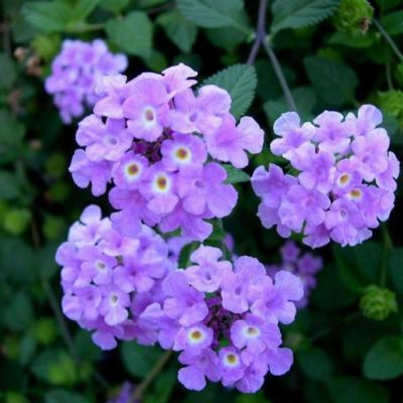 Buy Lantana Purple Plant Online At Cheap Price On Plantsgurucom