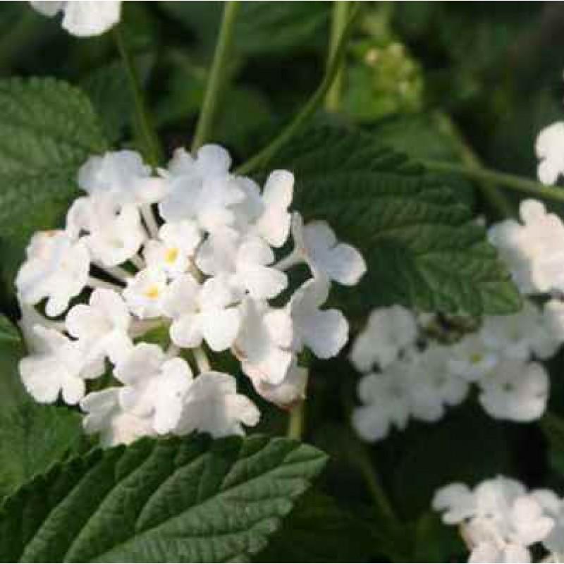 Buy Lantana White Plant Online At Cheap Price On Plantsgurucom