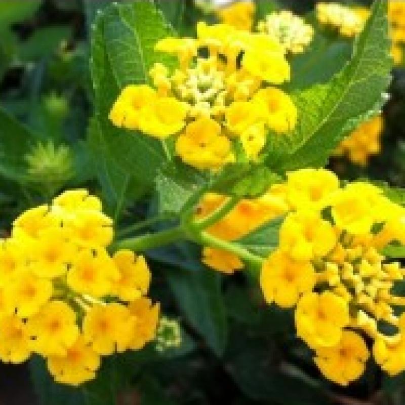 Buy Lantana Yellow Plant Online India At Cheap Price On Plantsgurucom