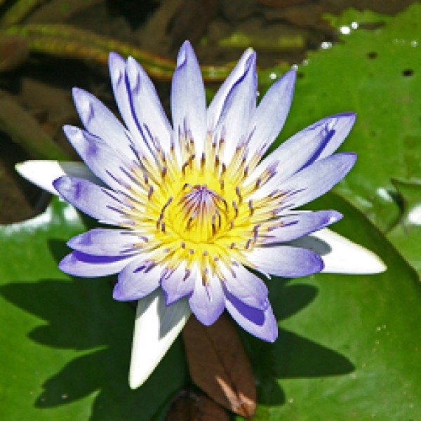 Lotus Blue Plant - Nymphaea Alba, Water Lily