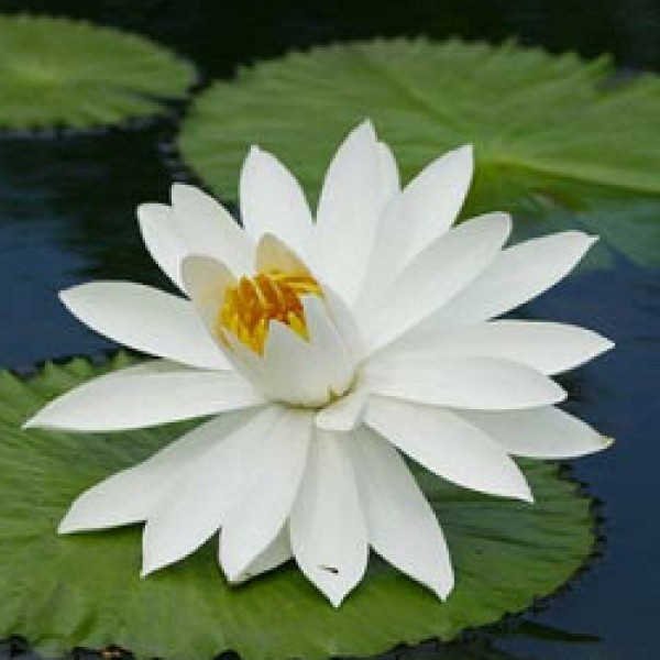 Lotus White - Nymphaea Alba, Water Lily