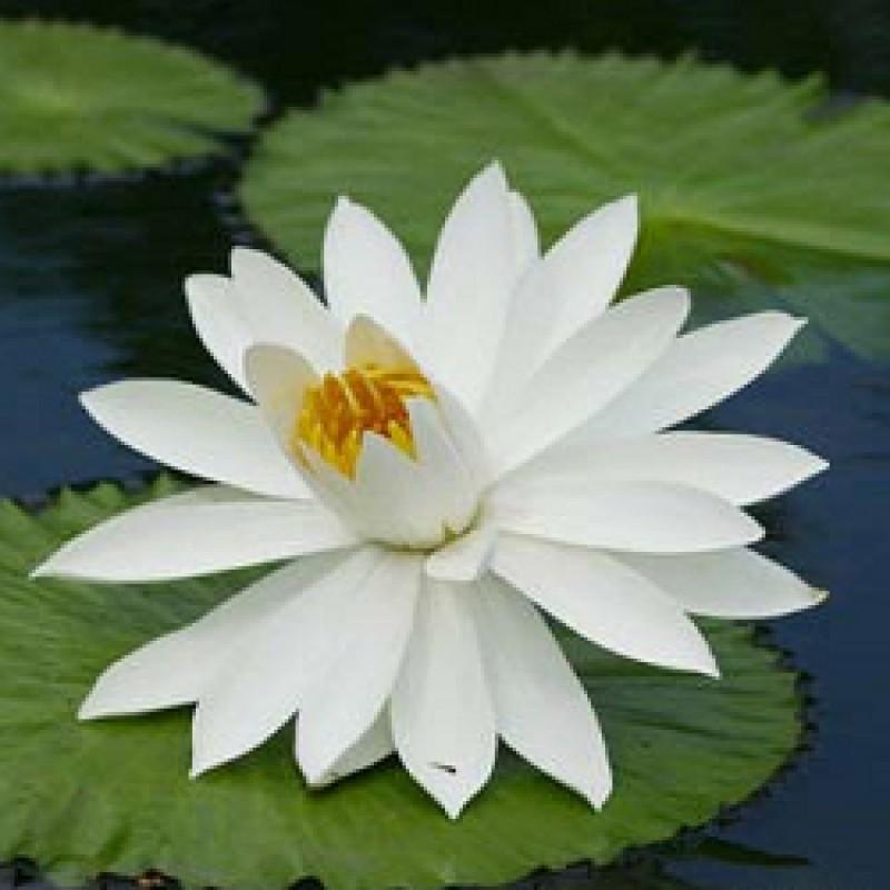 Buy Lotus White Plant Nymphaea Online At Cheap Price On Plantsgurucom