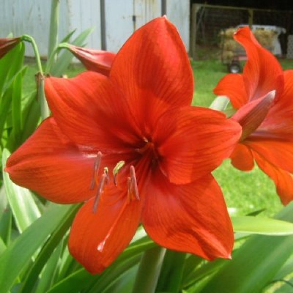 Amaryllis Lily Plant - Amar Lily Red Palnt