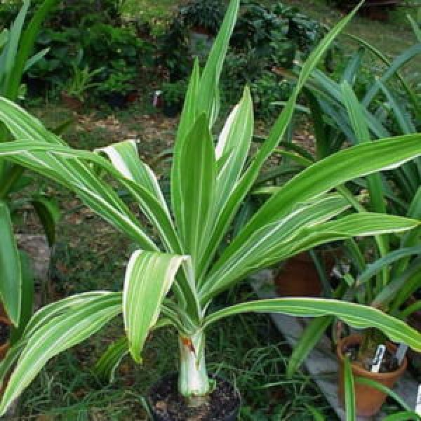 Crinum Lily Variegated