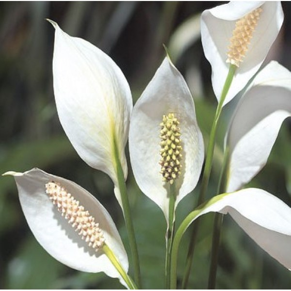 Peace Lily, Spathiphyllum Miniature Air Purify Plant