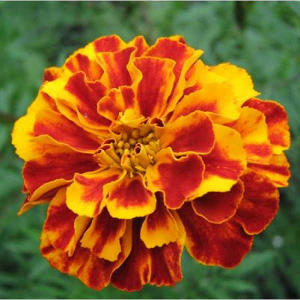 Marigold French Plant