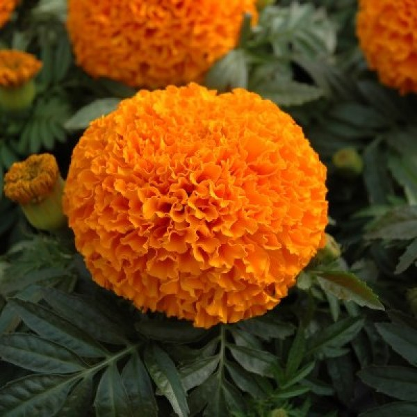 Marigold Orange Plant