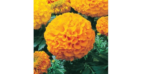 Buy Marigold Plant (Yellow) online at cheap price on