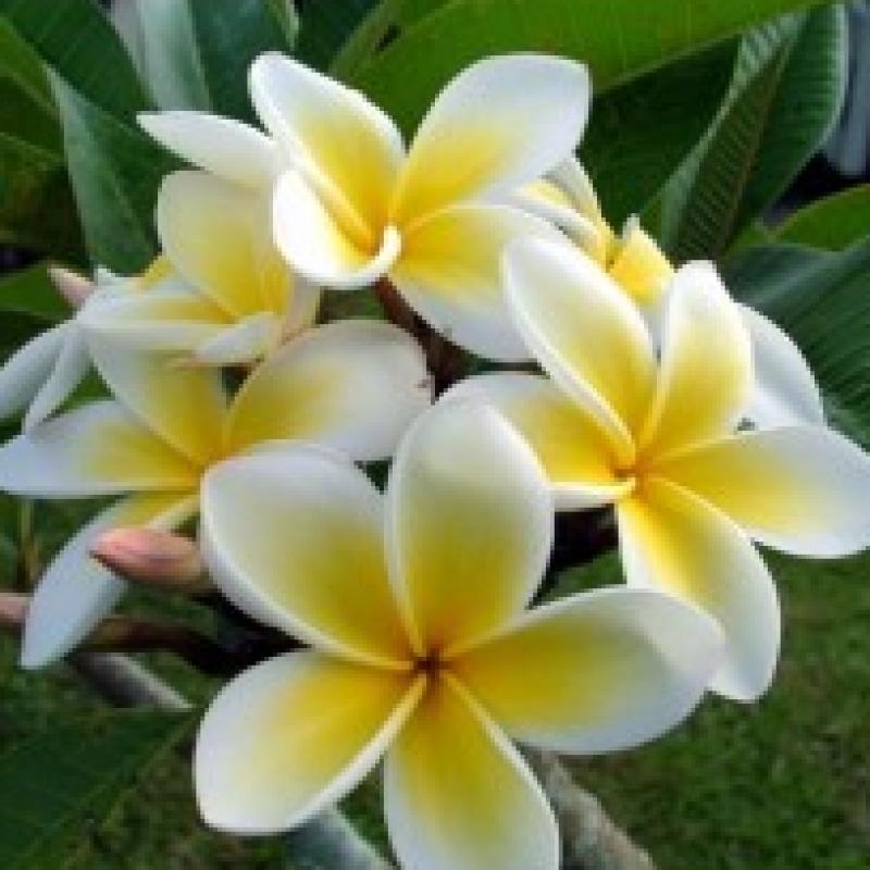 Buy Plumeria Dwarf Yellow plant online at best price on ...