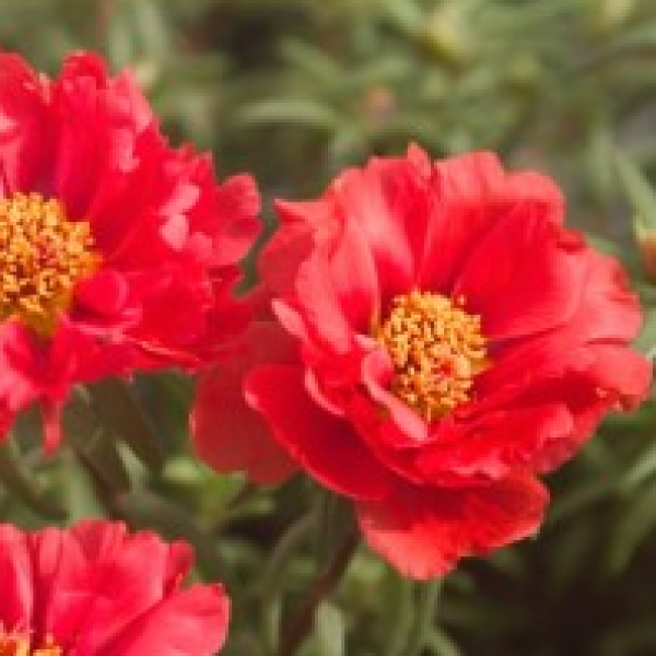 Portulaca Red Plant - Office Time plant