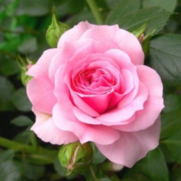 Rose Baby Pink Plant
