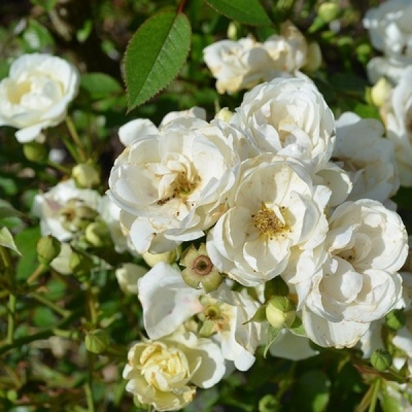Rose Floribanda White Plant - Summer Snow Rose