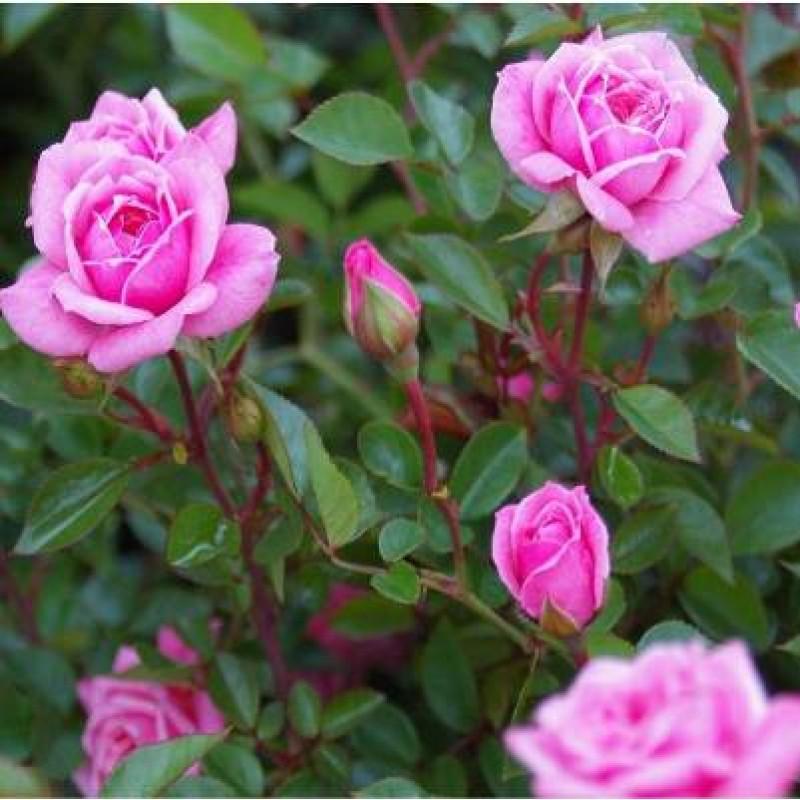 Rose Miniature Pink Plant Buy Online At Cheap Price On Plantsguru Com