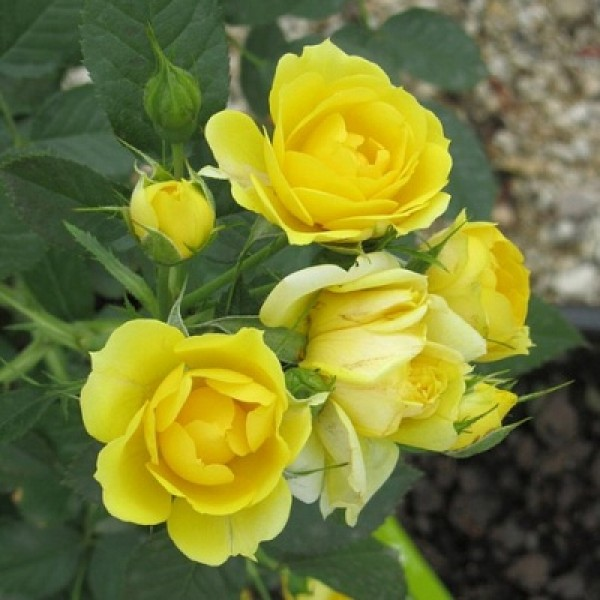 Rose Miniature Yellow - Button Rose, Button Gulab