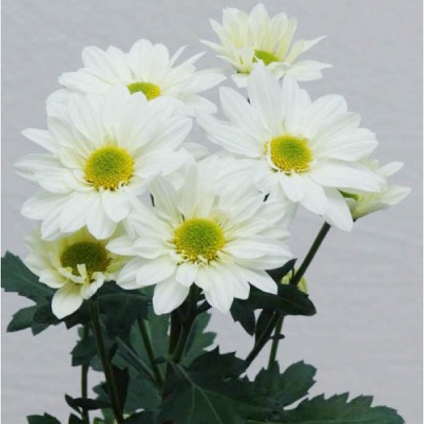 Shevanti White - Chrysanthemum Plant