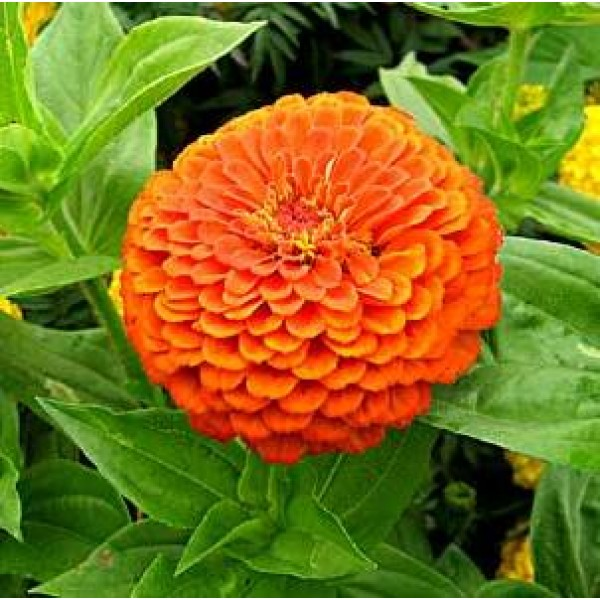 Zinnia Big Orange Plant