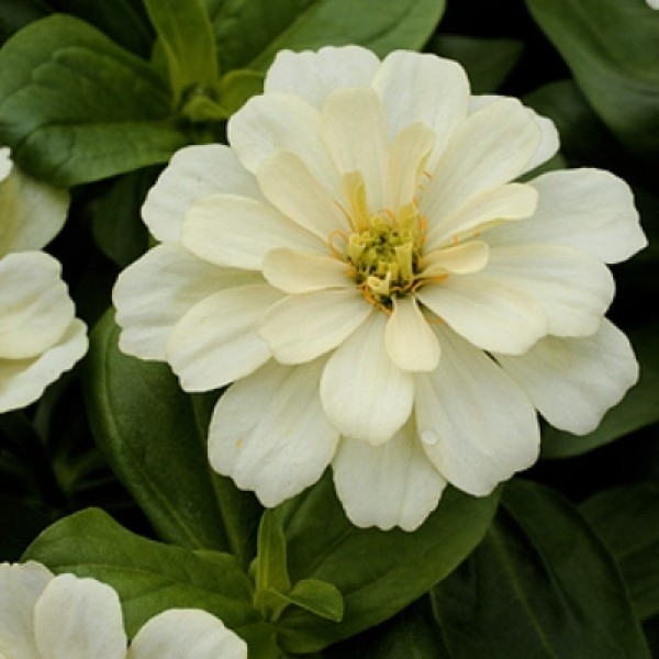 Omaxe Zinnia F1 Tall White Seeds