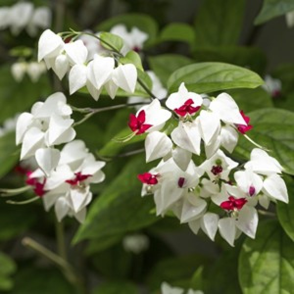Clerodendrum Thomsoniae-Bleeding Heart Vine