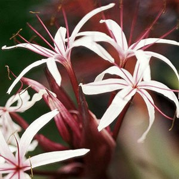 Brown Dwarf Lily - Crinum Lily Pink