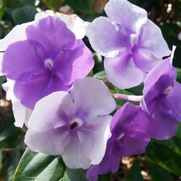 Brunfelsia Alata - yesterday today tomorrow plant