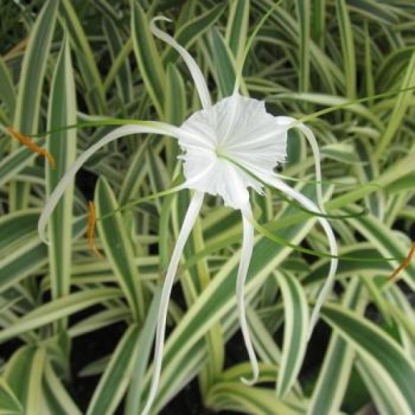 Variegated Lily - Spider Lily(Hymenocallis littoralis variegated)