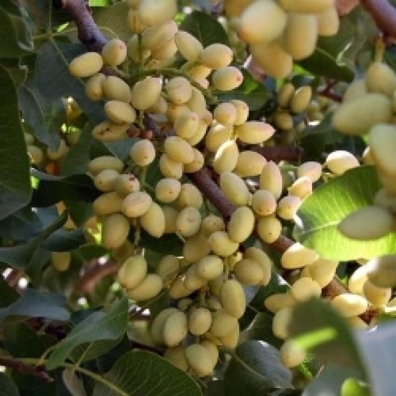 Pista Pistachio Fruit Plant
