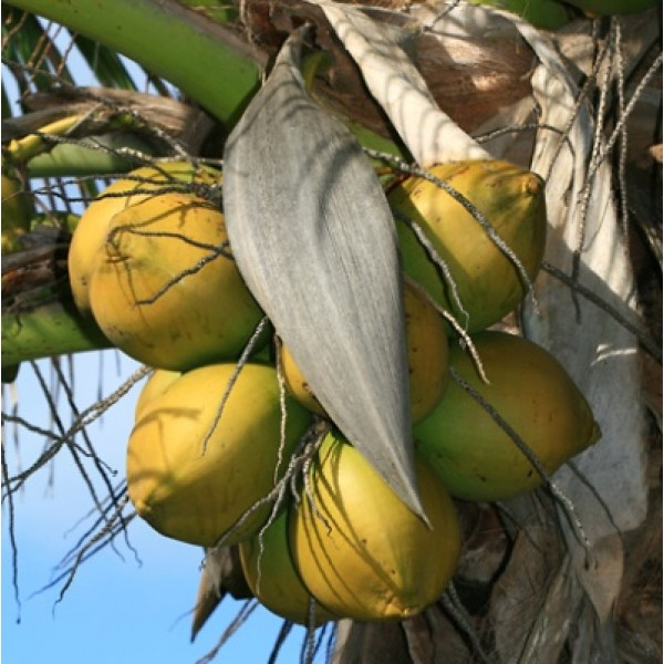 Coconut Golden Plant - Nariyal Plant