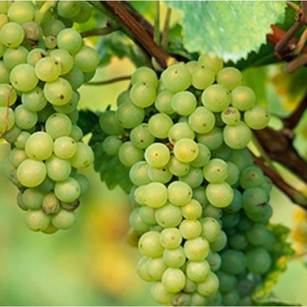 Grape, Angoor (seedless, hybrid, grafted) Plant