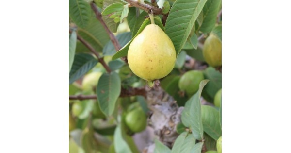 Buy Guava Plant (L-49) online at cheap price in India