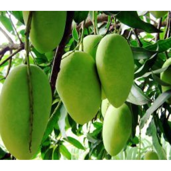 Buy Mango Plant Bonsai Online At Best Price At Plantsguru Com