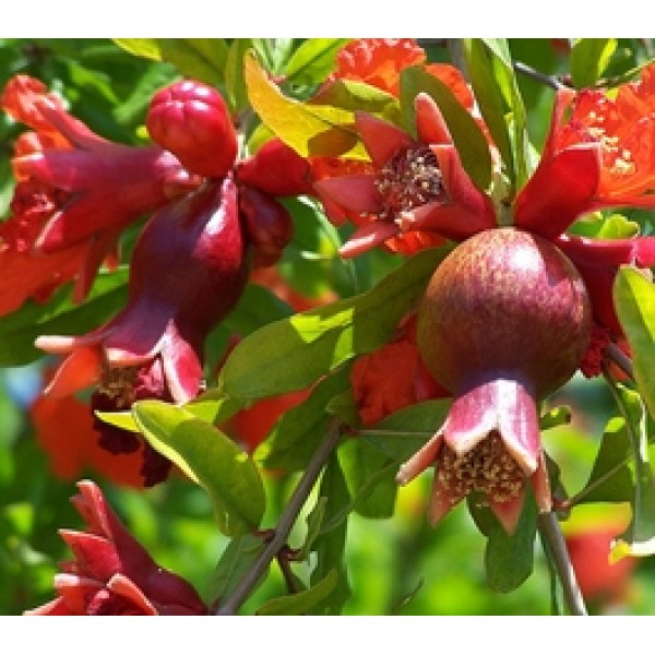 Pomegranate Plant - Anar