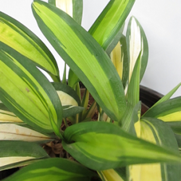 Chlorophytum Yellow Mix