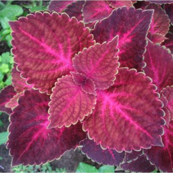 Coleus Electric Red Plant