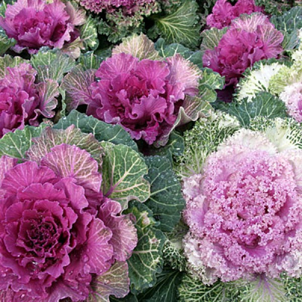 Ornamental Cabbage Pink - Kale