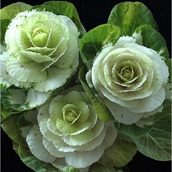 Ornamental Cabbage White - Kale