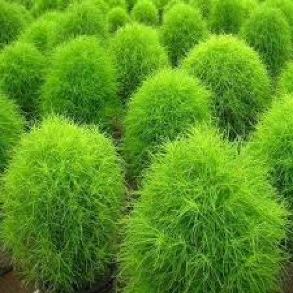 Omaxe Kochia Burning Bush Seeds