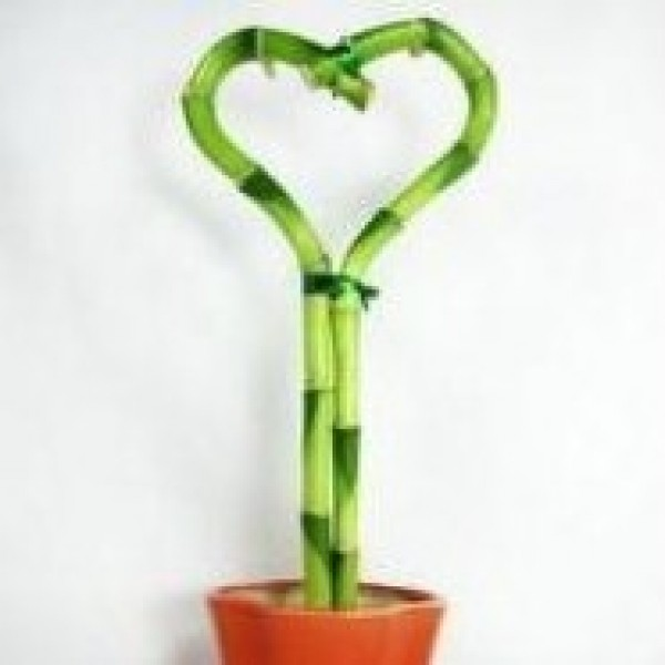 Heart Shape Lucky Bamboo