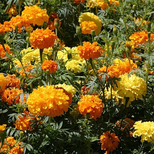 Omaxe Marigold Rodeo Royal Mix Seeds