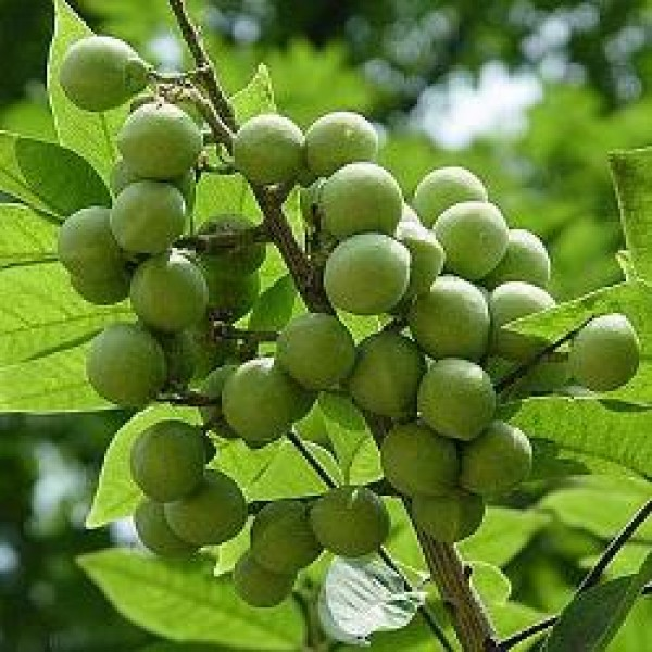 Ritha Plant, Reetha, Soap Nut, Wash Nut, Soapberry - Sapindus Mukorossi