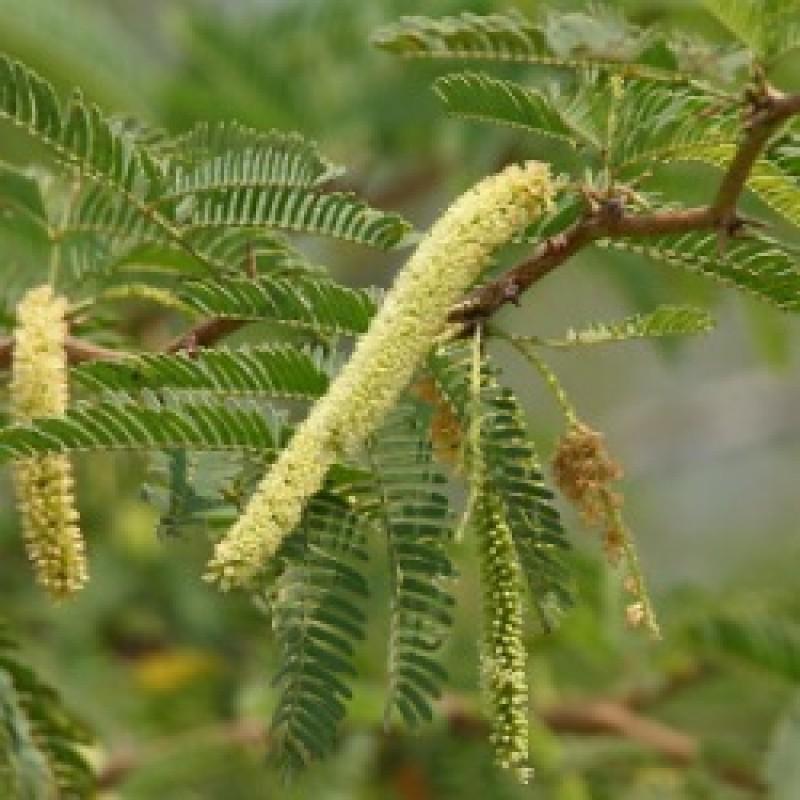 Buy Shami Plant Sami Prosopis Cineraria Online India At