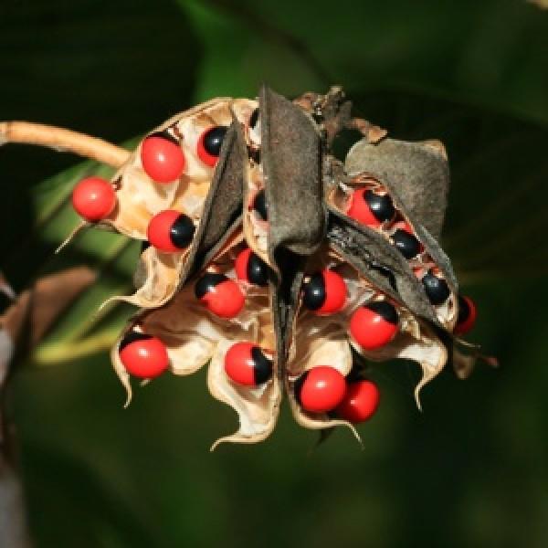Buy Rosary Pea Gunja Abrus Precatorius Plant Online At Plantsgurucom