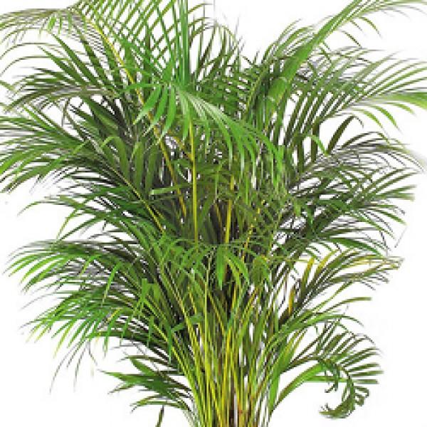 Areca Palm Seeds - 1KG