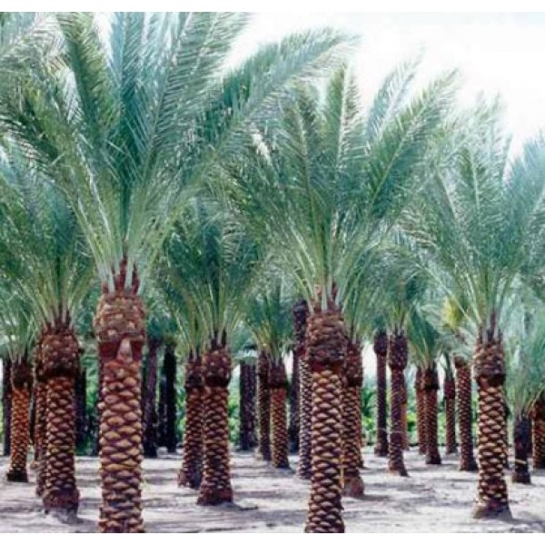 Date Palm Seeds - 1KG