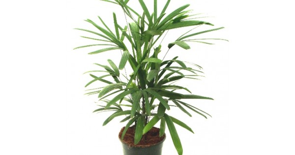 Buy Raphis Palm Plant online in India at cheap price on