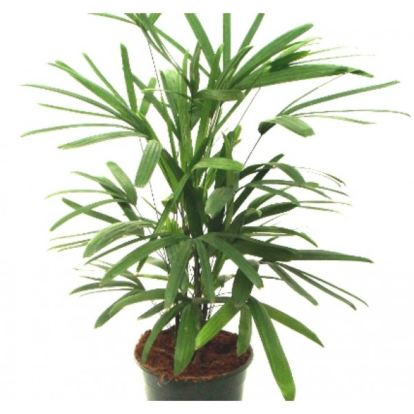 Raphis Palm - Raphis Excelsa, Lady Palm