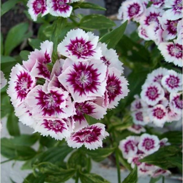 Dianthus Pink White